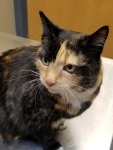 Closeup image of a calico cat sitting on a metal examination table at a veterinary clinic.